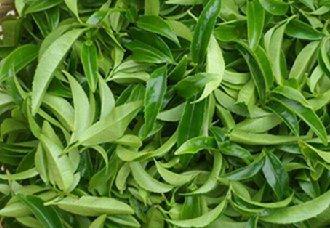 广西瑶寨茶叶种植成主产业 让广大茶农实现增收