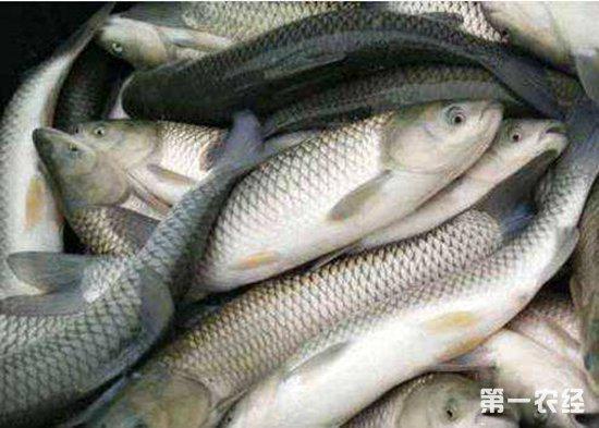草鱼价格地位徘徊一斤只卖4元 养殖户们养殖积极性不高