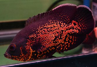 地图鱼要怎么养?地图鱼的养殖技术