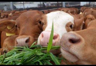 养牛要种什么牧草?四种适合养牛的牧草
