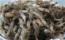 河虾的食性及养殖管理注意事项