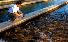养殖虹鳟鱼需要怎样的条件?虹鳟鱼养殖要求介绍