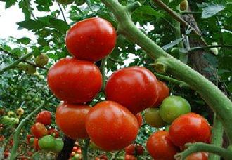 番茄疫病有哪些症状?番茄疫病的症状与防治方法