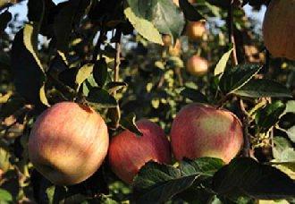 苹果树得了腐烂病怎么办?苹果树腐烂病的症状与防治技术