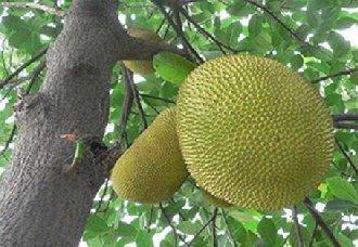 菠萝蜜要怎么种植?菠萝蜜的种植管理技术