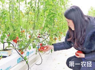 西红柿新品种价格惊人,每公斤卖40元高价?
