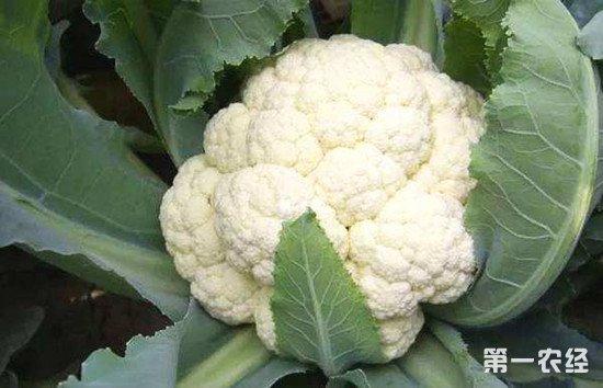 花菜怎么种才能高产?花菜种植方法和高产技巧介绍