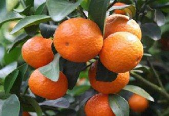 柑橘常见的虫害有哪些?柑橘的五个虫害与防治方法