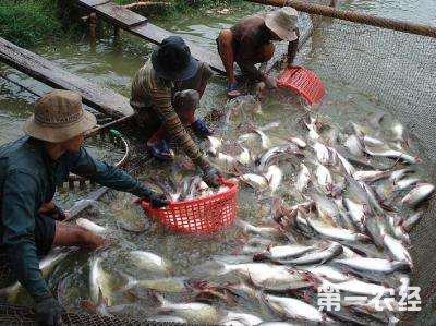 越南巴沙鱼价格暴跌近50% 养殖户投资规模还在扩张