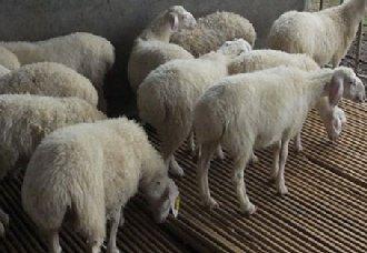 羊肠胃炎的症状以及治疗措施