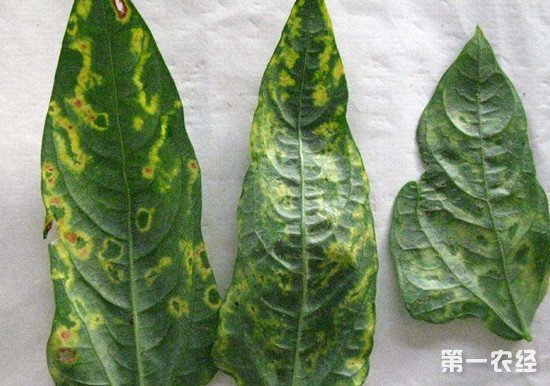 造成豇豆花叶病的原因及无公害防治方法介绍