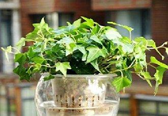 常春藤要怎么水培?常春藤的水培方法