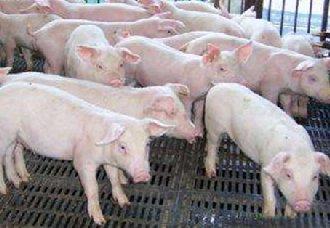 非洲猪瘟形势严峻,散养户们应该注意些什么?