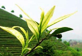 四川荣丁镇马边峨眉雪芽茶叶加工厂成扶贫企业助力群众增收