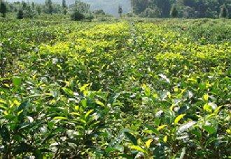 杭州临安上沃村各茶园进入春茶采摘期 春茶产量品质都有提升