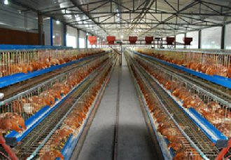 <b>养鸡舍在消毒中要注意什么?注意以下五点</b>