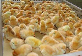 鸡孵化场在建设中要注意什么?以下四个注意事项要注意