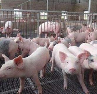 哺乳乳猪要怎么管理?哺乳乳猪的管理要点