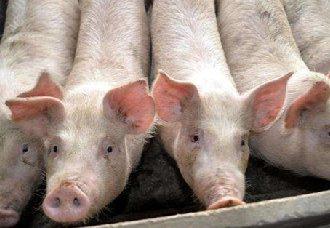 发酵床养猪为什么会失败?发酵床养猪失败的原因