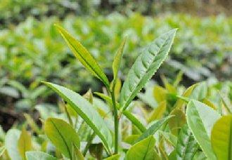 浙江松阳茶叶带动乡村振兴 推动茶叶产业发展