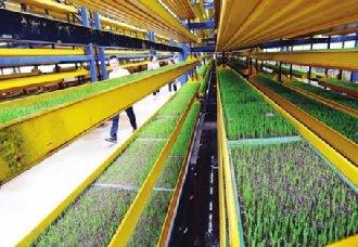 <b>工厂化农业:番茄越冬生产,每平方米产量达20多公斤</b>