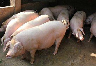 <b>供应减少储备增加,猪价却不升反降,是什么原因?</b>