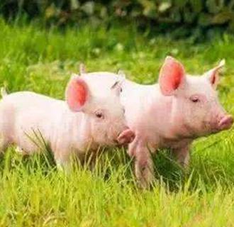 小公猪去势的手术方法及注意事项