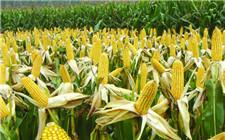 我国严禁非法种植转基因玉米 一旦查获将重罚