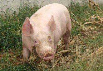 <b>配种母猪怎么挑选?配种时间是什么时候?</b>