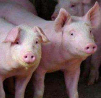 猪口蹄疫有哪些症状?该如何预防?