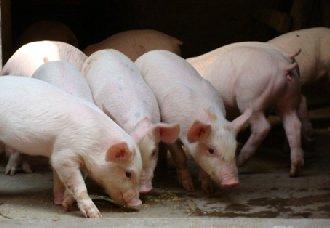 <b>我国成功分离非洲猪瘟毒株,为疫情防控提供了重要的科学依据</b>