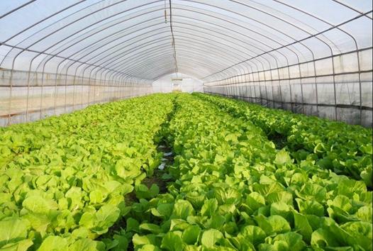 反季节蔬菜拓宽了村民们的致富新渠道