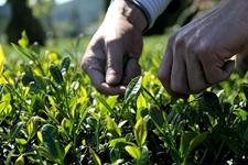 3月底的时候,铁观音春茶能采摘了吗?