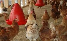 蒙特资讯|春季鸡舍消毒指南