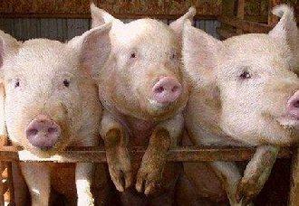 仔猪价格不断上涨,养猪户要注意背后的风险