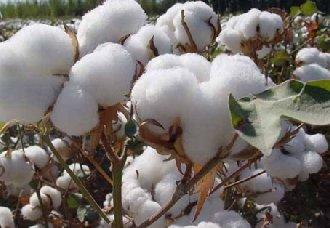 """<b>""""中棉619""""培育成功,不用薄膜也能种植的棉花品种</b>"""