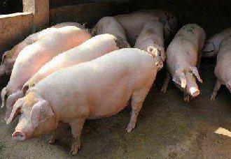 <b>预防怀孕母猪流产的管理技术</b>