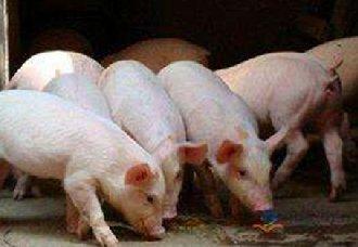 猪快速出栏的饲养管理技术