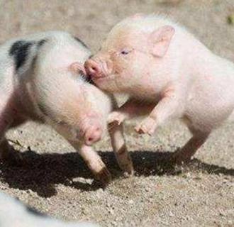 预防补栏仔猪生病的管理措施