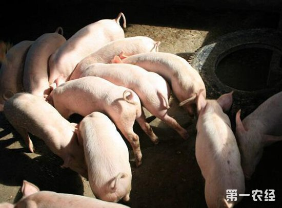 山东将非洲猪瘟纳入保险赔偿,四川云南正在推进