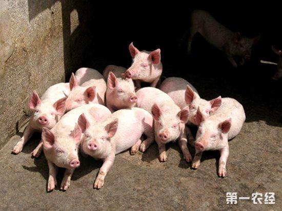 存栏生猪、能繁母猪下降,养猪产能要多久才能恢复?