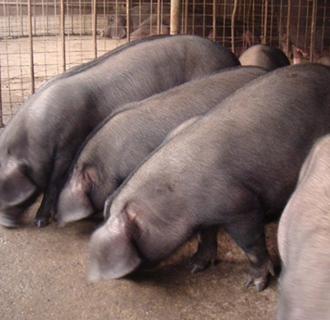 太湖猪要怎么养?太湖猪的养殖技术
