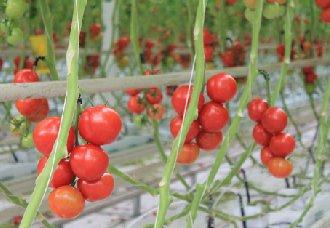 <b>番茄扎根岩棉,每公斤种植耗水量减少50%</b>
