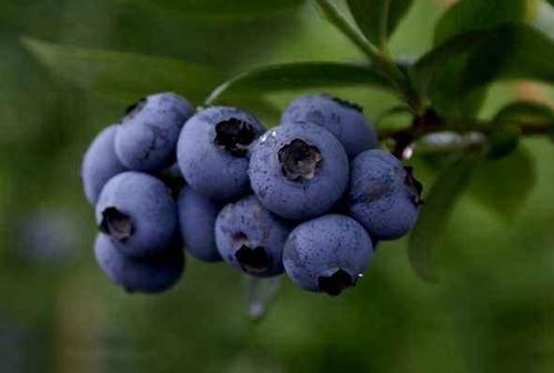 回到家乡当农夫,种植蓝莓实现美梦