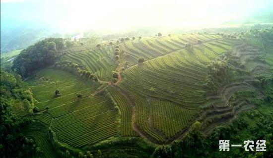 2,茶,茶产业,春茶