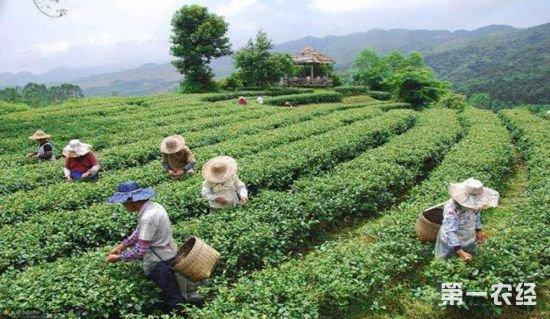10066.茶,茶产业,春茶