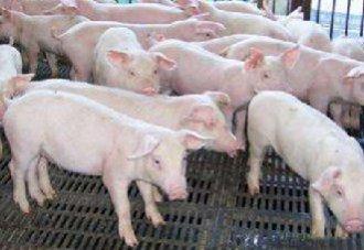 <b>非洲猪瘟防控短板:养猪人缺乏生物安全意识</b>