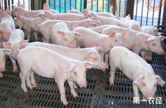 非洲猪瘟防控短板:养猪人缺乏生物安全意识