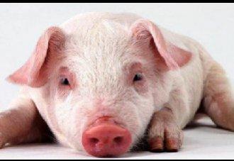 <b>哪些疾病会引起猪发烧?该如何防治?</b>