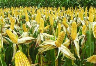 粉垄技术提高夏玉米产量